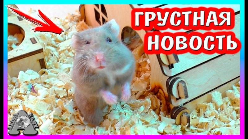 Что Мы Скрывали про Хомяка Стешу Грустная новость... Японская Танцующая мышка Alisa Easy Pets