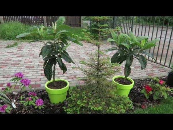 Мои экзотические растения мушмула японская, цитрусовые, бугенвиллея, инжиры из семян 29