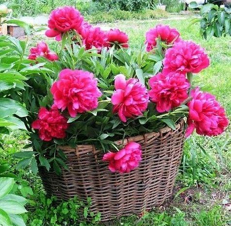 Весенняя подкормка пионов для пышного цветения.
