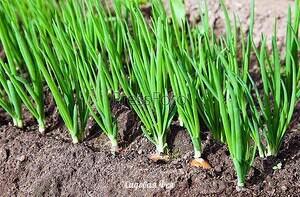 ЙОД,НАШАТЫРЬ,ЗЕЛЕНКА В ОГОРОДЕ Йод в огородеОбычный пузырек йода способен оказать огороднику не одну большую услугу. Поскольку все мы с детства знаем, что йод отличный антисептик, грех не