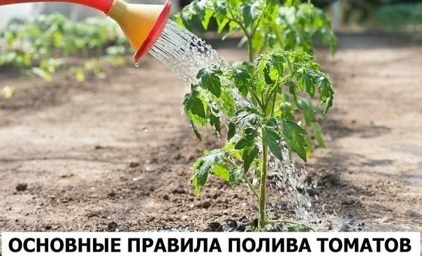 Нормы воды в различные периоды развития томатов Перед высадкой помидорной рассады на постоянное место в посадочные лунки наливают от 0,5 до 1 литра теплой воды в зависимости от величины