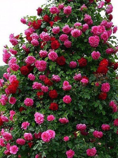 Кто ещё за плетистые розы в саду!