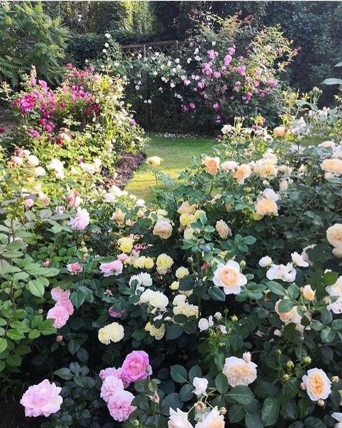 А вы любите розы