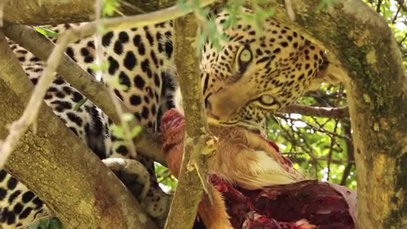 Леопард наслаждается свежим мясом