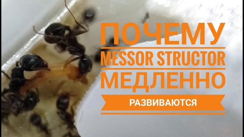 Почему муравьи вида Messor Structor медленно развиваются