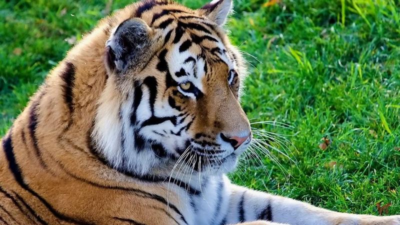 Тигр лат Panthera tigris