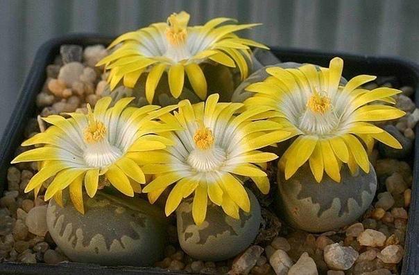 «Живые камни» литопсы, настоящее чудо природы! (источник: gofazenda)
