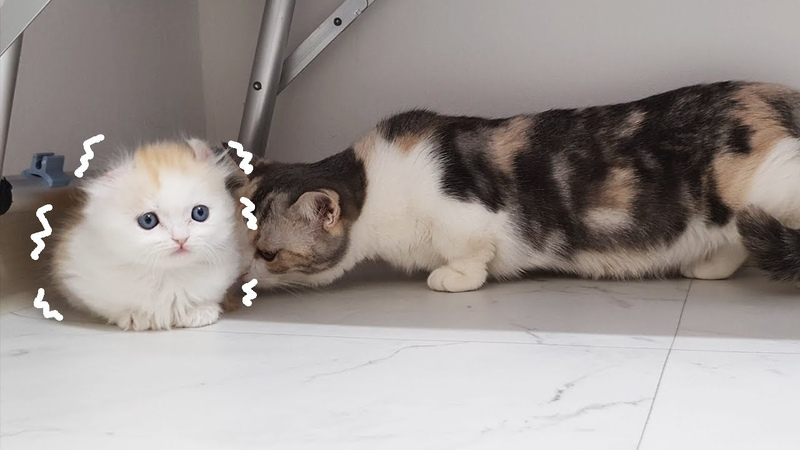 Introducing Munchkin to New Kittens for the First time│2 MEET AT LAST