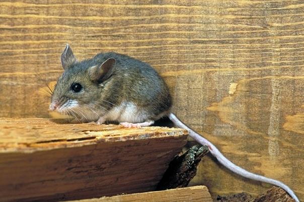 Если зимой «поработали» мышки. Представьте себе на минуточку ситуацию Вы приезжаете весной на участок, заходите в свой дачный домик, а там все вещи превращены в сплошную труху, поверхности
