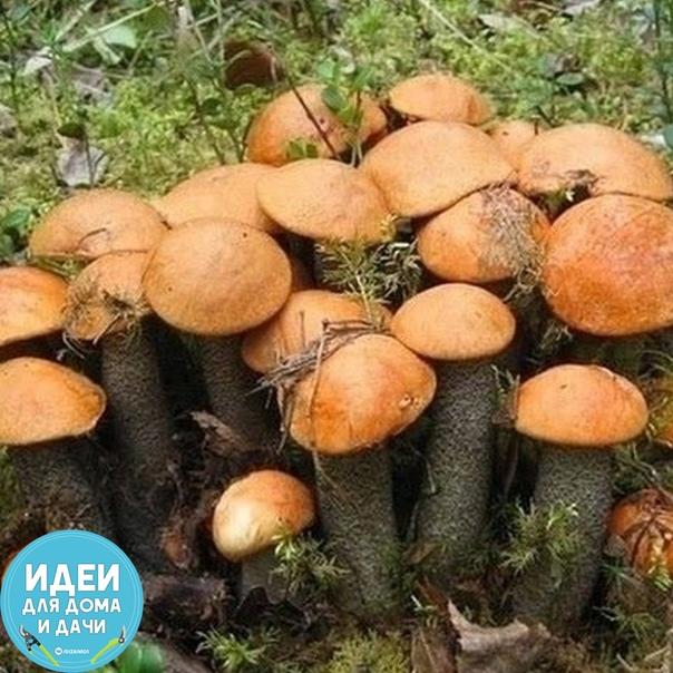 Шикарный пoдарок природы - грибная красота Шикарное семейство. В тесноте - не в обиде!