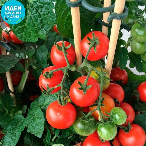 Маленькие хитрости, которые помогут собрать хороший урожай помидор.