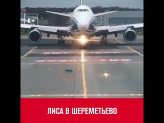 Лиса перебежала ВПП - Москва FM