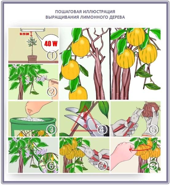 Как вырастить раннеспелое лимонное дерево Лимон  это это многолетнее вечнозеленое дерево, с колючками на ветках и красивыми темно-зелеными листьями