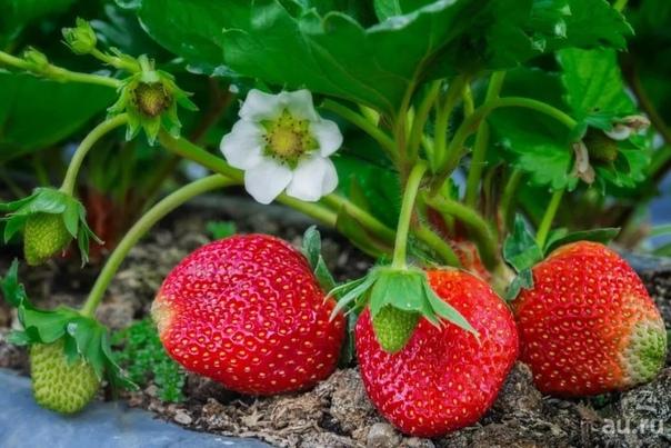 Календарь ухода за клубникой от весны до осени. Клубника (садовая земляника) довольно капризная культура. Поэтому за ней нужно тщательно ухаживать с ранней весны до поздней осени. Мы расскажем,