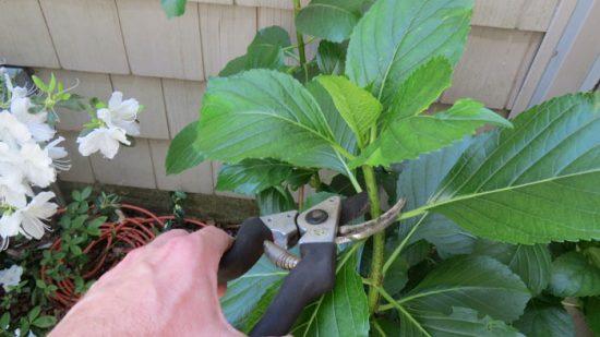 Не знаете, как обрезать гортензию Давайте разбираться! Гортензия цветёт летом. В этот период видны внешние качества растений, поэтому выбрать подходящее из них проще всего. Размножение гортензии