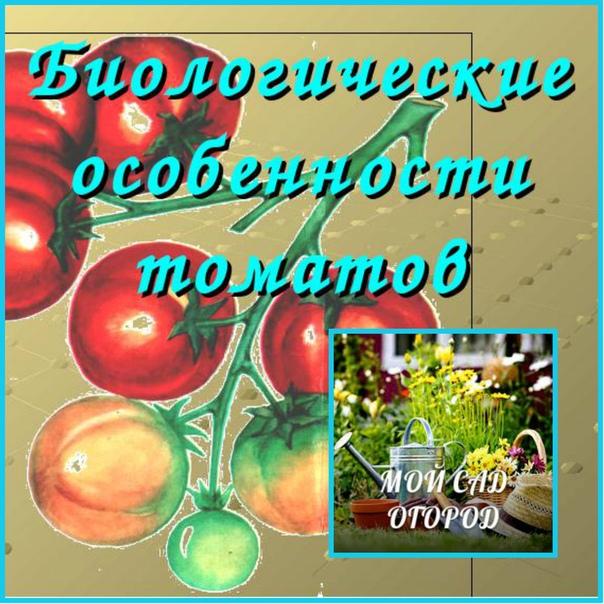 БИОЛОГИЧЕСКИЕ особенности ТОМАТОВ (Овощеводсто в России) Томат, как выходец из субтропических стран, является требовательной к теплу и свету культурой. Помидоры считаются относительно