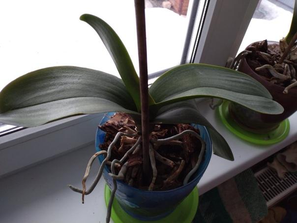 Что с орхидей Белый налёт на листьях. Может старые отмирают Полив правильный, с другими такого нет.