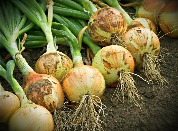 Чем подкормить лук в июле что бы урожай был крупным и вкусным.