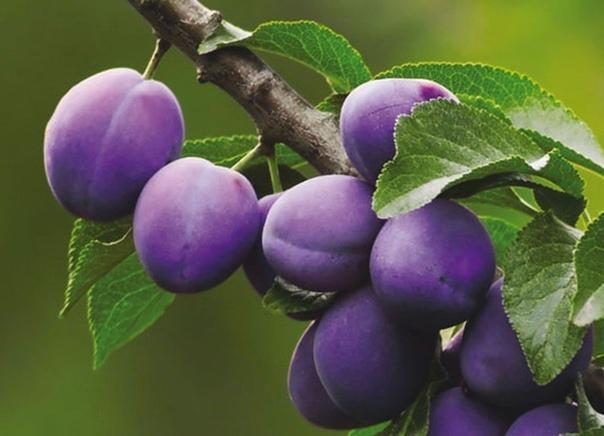 Совместимость плодовых деревьев.
