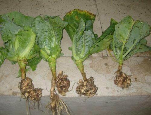 Какая связь между содой и плотными кочанами капусты
