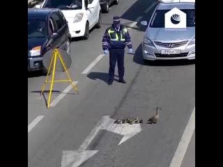 В Краснодаре дорожный патруль остановил движение ради утки с птенцами.