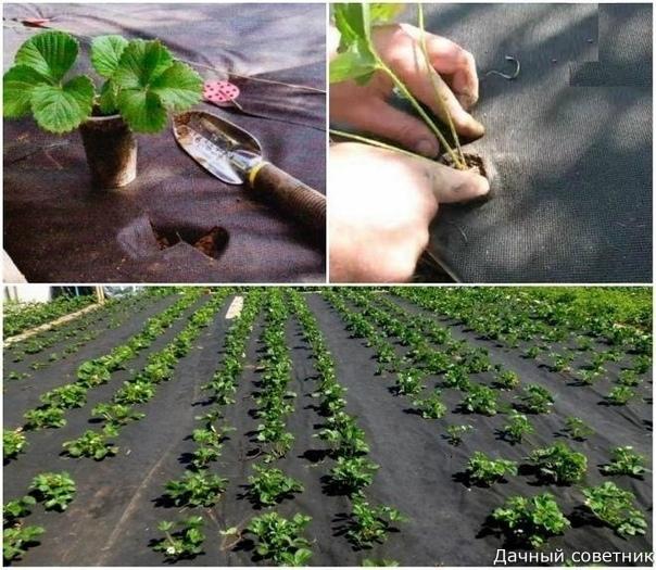 Клубника под спанбондом: основные моменты Тем, кто выращивает клубнику, хорошо знакомы хлопоты во время созревания ягод и сбора урожая. Это и борьба с сорняками, и необходимость регулярной