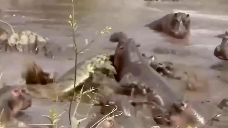 Огромная стая бегемотов чуть не разорвала подплывшего к ним крокодила