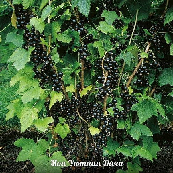 Посадка чёрной смородины. Черная смородина любит фосфорные удобрения, слабокислую, воздухо- и влагопроницаемую почву, богатую гумусом, и солнечное место, но с полутенью тоже мирится. Однако