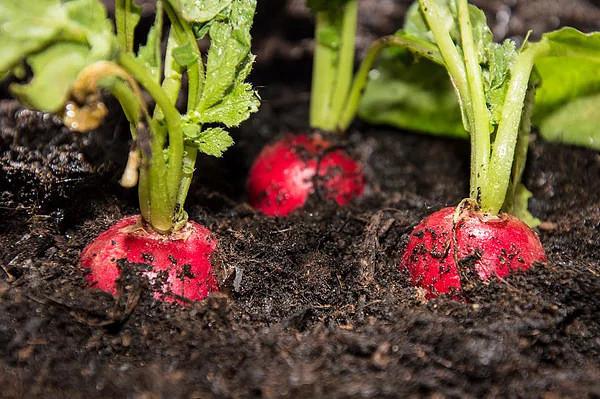 ЧЕМ ПОДКОРМИТЬ РЕДИС ПОСЛЕ ВСХОДОВ СОВЕТЫ И РЕЦЕПТЫ НАДО ЛИ ПОДКАРМЛИВАТЬ РЕДИСКУУ редиса очень короткий вегетационный период 1840 дней, растение компактное, питания ему нужно мало. Если вы