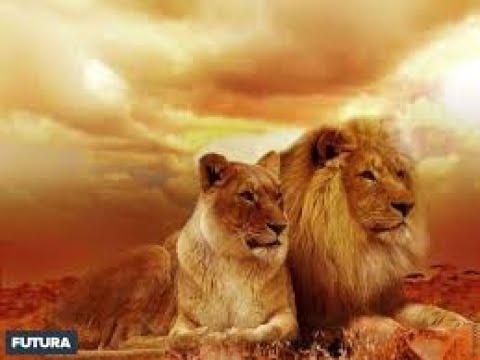Lion Wildlife National Geographic