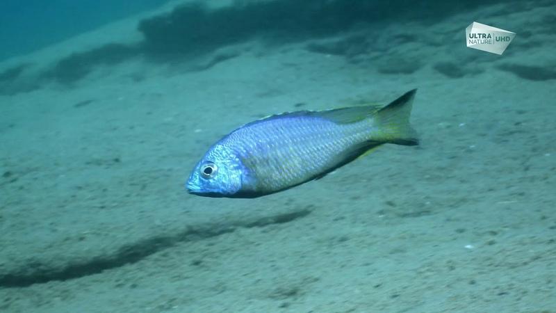 Ultra Nature 4K - Les merveilles sous marines de l'Afrique - Le lac Malawi