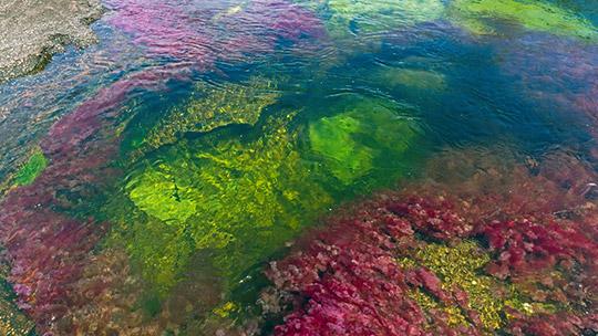 Путешествия. Каньо Кристалес  Река пяти цветов. Колумбия.