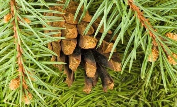 Использование хвои в качестве инсектицида Волшебное средство от вредителей!!От яблонной плодожорки, долгоносика, листовертки и других вредителей.Готовят раствор так: молодые сосновые ветки