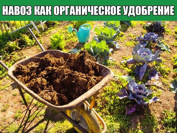 Навоз как органическое удобрение