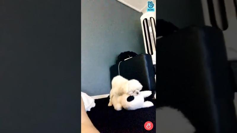 Got7- Youngjae's dog Coco humping teddy bear lmao