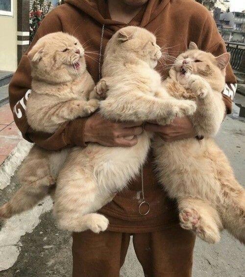 3 буйных кота, эх, 3 буйных кота